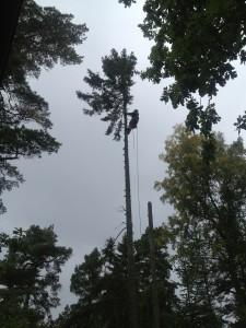 Trädfällning i Nacka