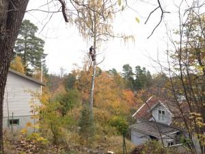 Fiskaruddsvägen i Rönninge. Sektionsfällning av björk.