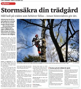 Nedblåsta träd, rotröta, rotvältor. Trädfällning-trädfällare-stockholm-huddinge-stuvsta-segeltorp-tullinge-flemingsberg- glömsta-vista-visätra