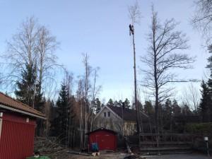 Trädfällning-tullinge-tumba-rönninge-glömsta-uttran-botkyrka