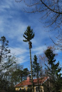 Trädfällning-trädfällare-herrängen-långsjö-långbro-fruängen