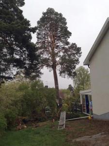 Trädfällning-trädfällare-tullinge-tumba-stuvsta-solhöjden-brantbrink-riksten-flemingsberg-visätra