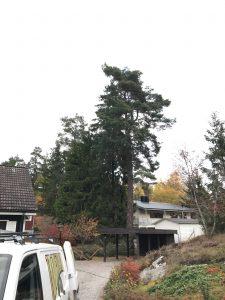 Trädfällning gamla stockholmsvägen glömsta arborist fälla träd rutavdrag