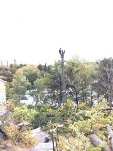 Trädfällning inför markarbete på skogsduvevägen, huddingevägen1