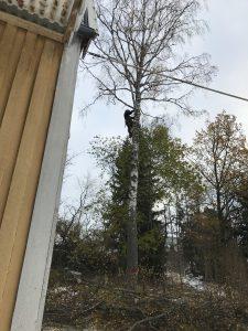 Trädfällning i Vista, Huddinge